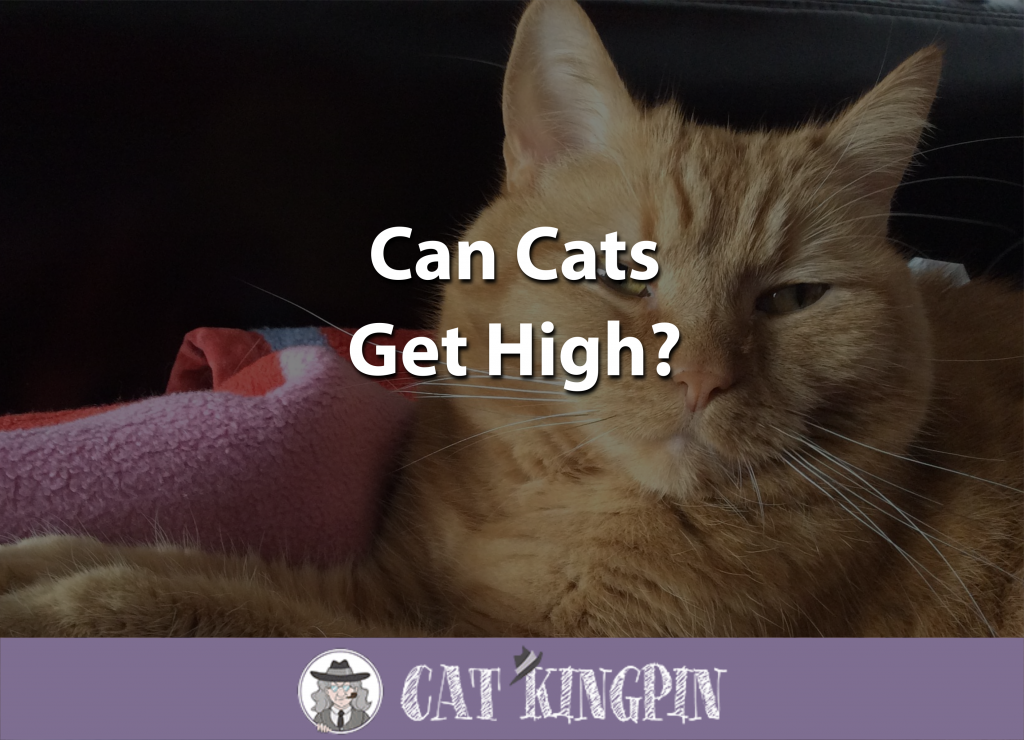 Can Cats Get High