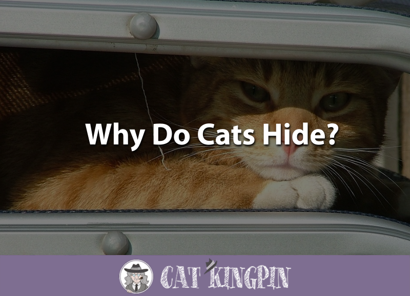 Why Do Cats Hide