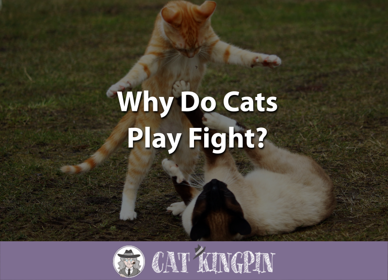 Why Do Cats Play Fight