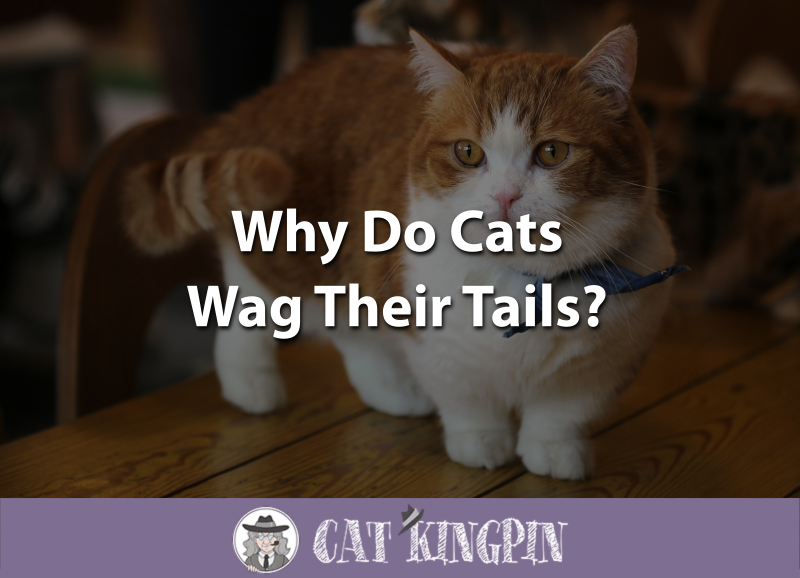 Why Do Cats Wag Their Tails
