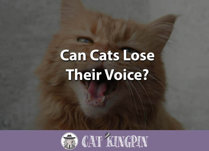 Can Cats Lose Their Voice