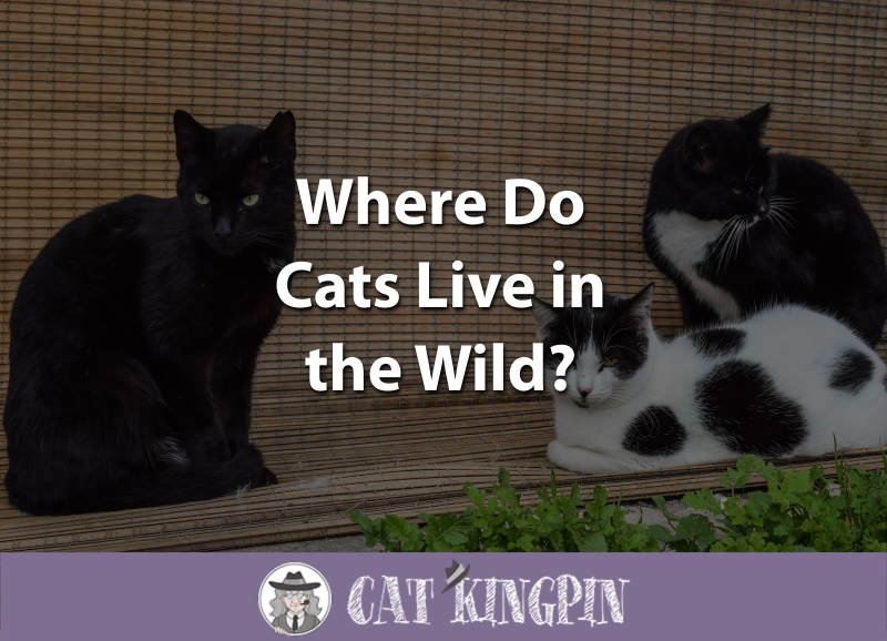 Where Do Cats Live in the Wild