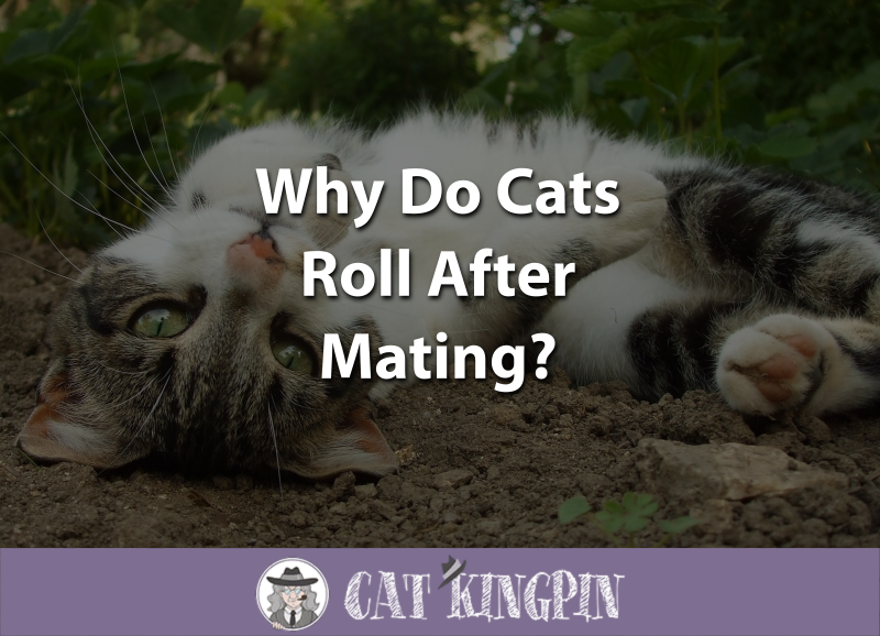 Why Do Cats Roll After Mating