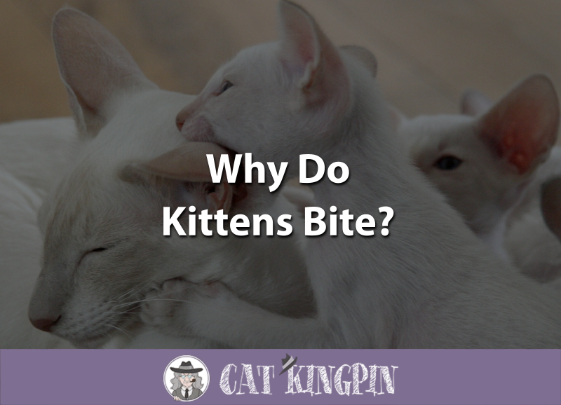 Why Do Kittens Bite