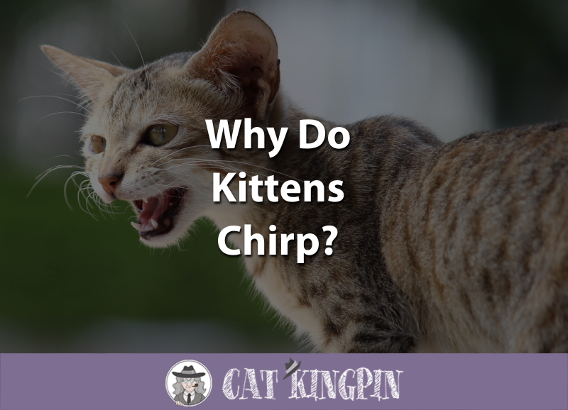 Why Do Kittens Chirp