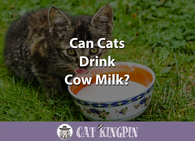 Can Cats Drink Cow Milk