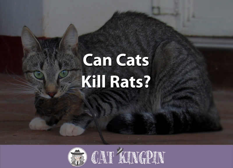 Can Cats Kill Rats