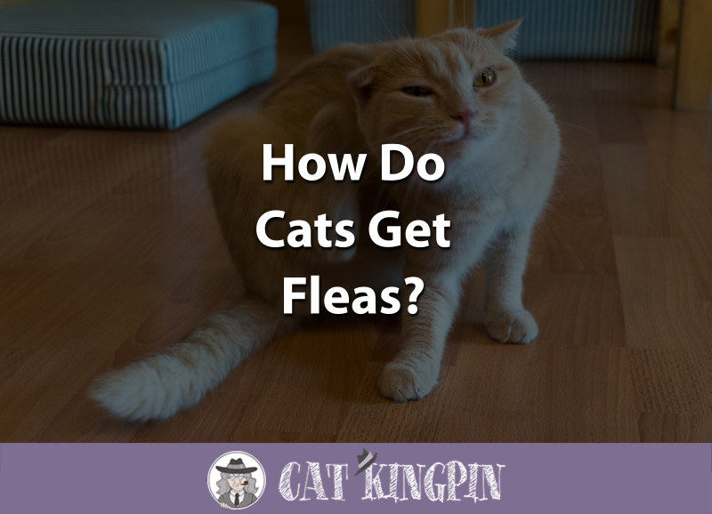 How Do Cats Get Fleas