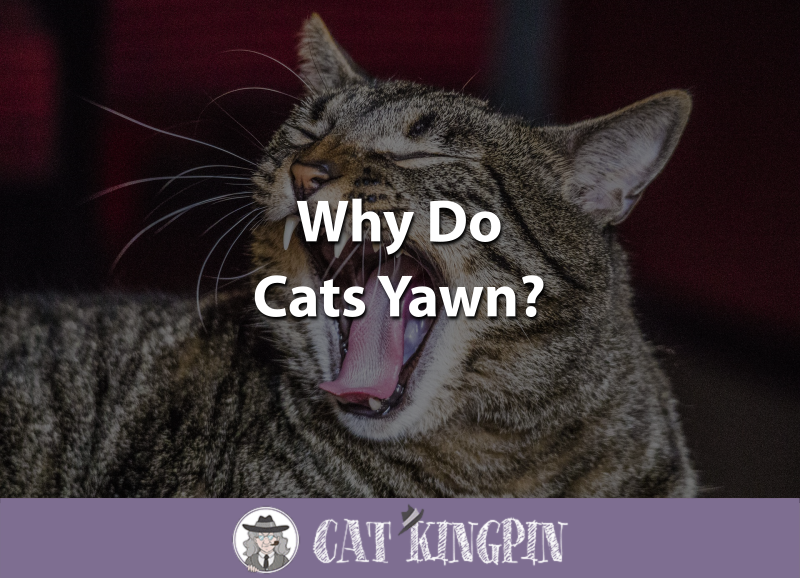 Why Do Cats Yawn