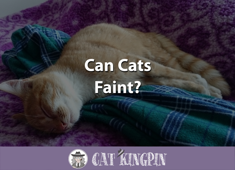 Can Cats Faint