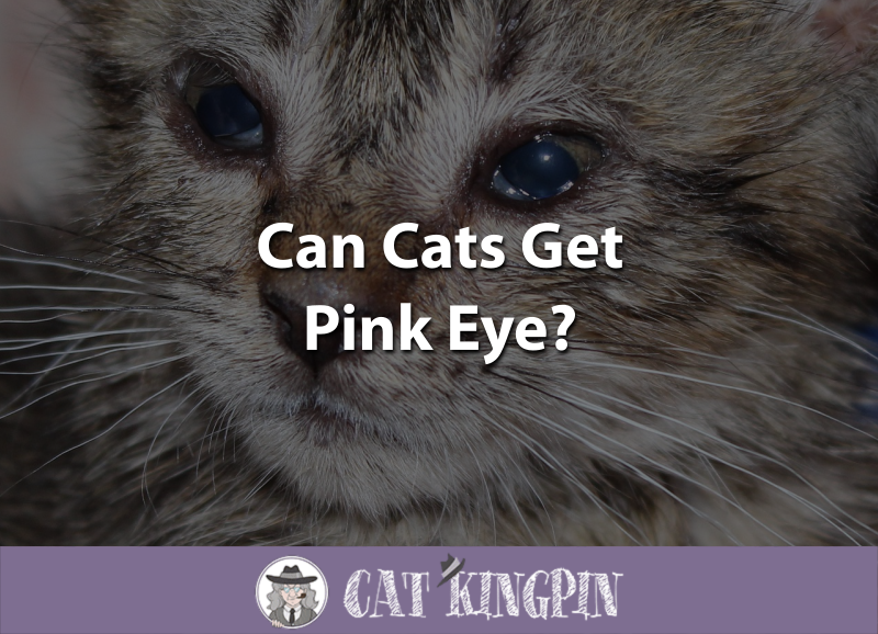 Can Cats Get Pink Eye