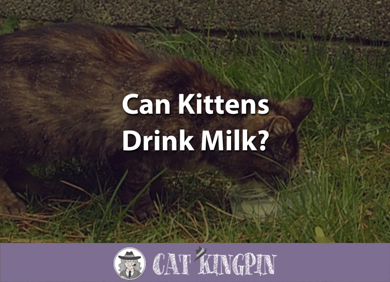 Can Kittens Drink Milk