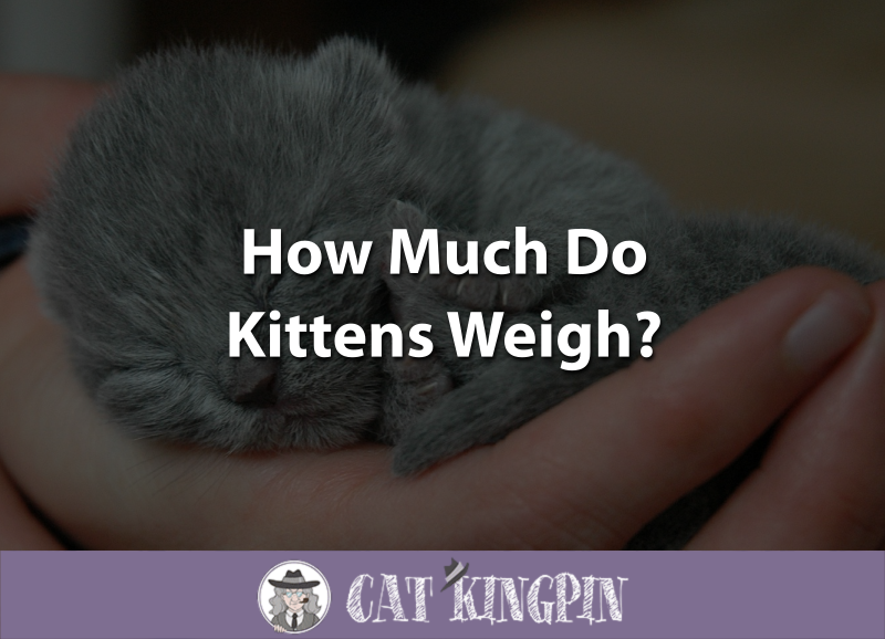 How Much Do Kittens Weigh