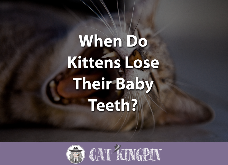 When Do Kittens Lose Their Baby Teeth