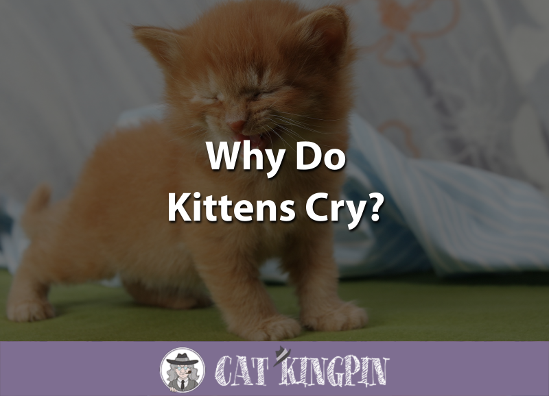 Why Do Kittens Cry