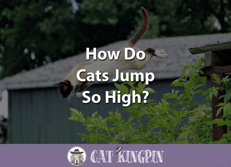 How Do Cats Jump So High