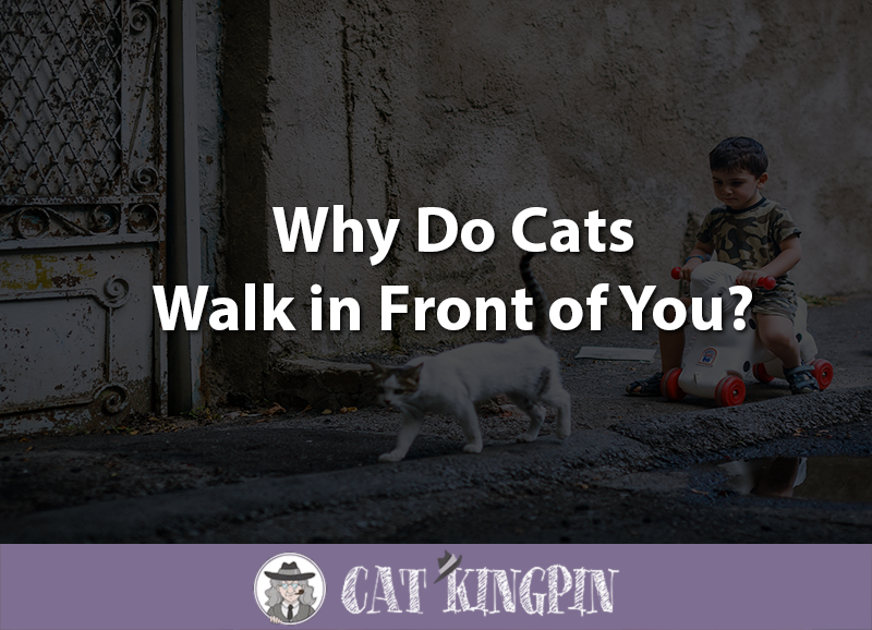 Why Do Cats Walk in Front of You