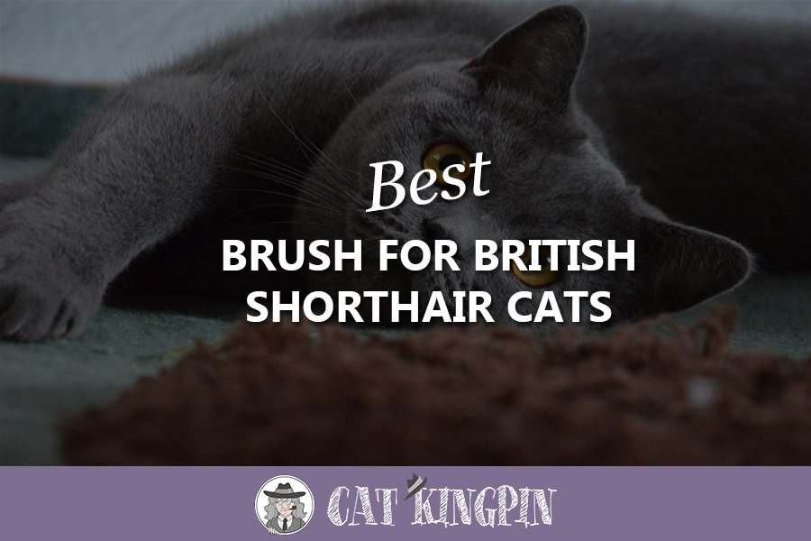 Best Brush For British Shorthair Cats